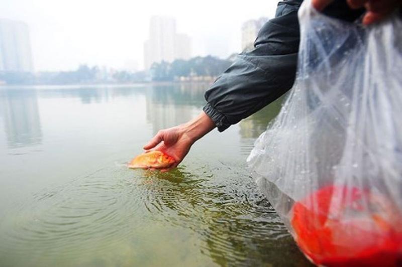 Nên thả cá chép từ từ xuống nước